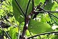 Piper auritum 22zz.jpg