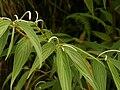 Piper lanceaefolium (inflorescense).jpg