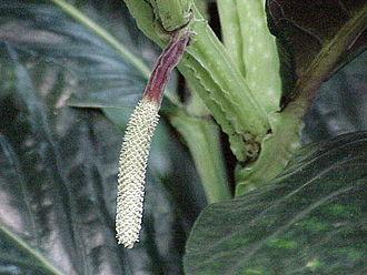 Piper (plant) - Lacquered pepper (P. magnificum) inflorescence