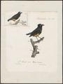 Pipra serena - 1825-1834 - Print - Iconographia Zoologica - Special Collections University of Amsterdam - UBA01 IZ16600219.tif