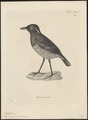 Pitta venusta - 1700-1880 - Print - Iconographia Zoologica - Special Collections University of Amsterdam - UBA01 IZ16400287.tif