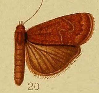 <i>Isadelphina</i> Genus of moths