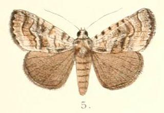 <i>Iambia</i> Genus of moths