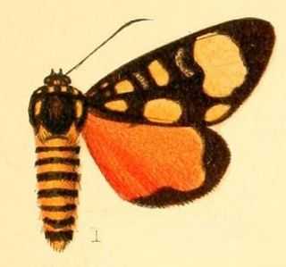 <i>Sergiusia</i> genus of insects