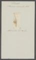 Planaria marmorata - - Print - Iconographia Zoologica - Special Collections University of Amsterdam - UBAINV0274 105 09 0023.tif