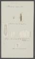 Planaria nigra - - Print - Iconographia Zoologica - Special Collections University of Amsterdam - UBAINV0274 105 09 0033.tif
