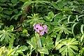 Plantae sp. (26606092842).jpg