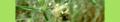Plantago arenaria. Reader.png