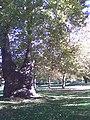 Platánfa - panoramio (1).jpg