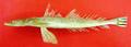 Platycephalus indicus Pakistan.png