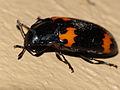 """Pleasing Fungus Beetle (Erotylidae) with orange """"Batman"""" logo (13819617543).jpg"""