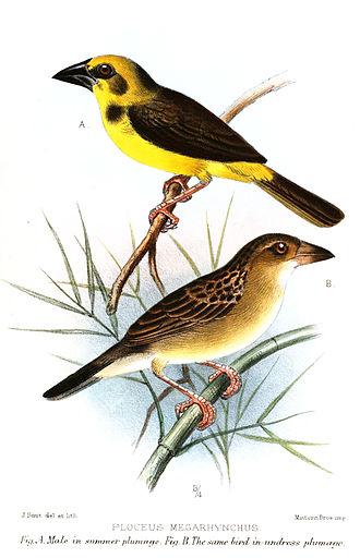 Finn's weaver - An artist's illustration of the species