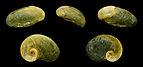 Plutonia lamarckii 01.JPG