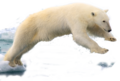 Polar bear edited by K Abdelhamid.png