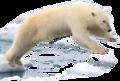 Polar bear edited by K Abdelhamid.png