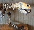 Polar bear skeleton Judaberg, Finnøy, Norway Stavanger Arkeologisk museum 2015-05-27 skull 03.JPG