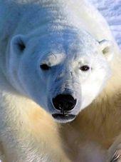 En bjørn med hvit pels og svarte øyne
