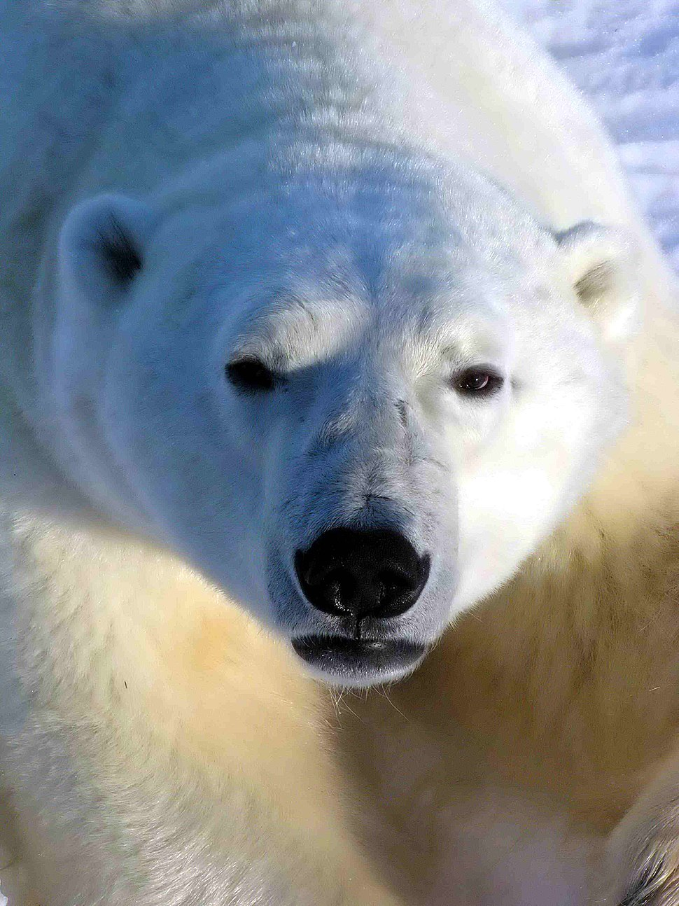 A bear with white fur and black eyes