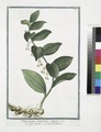 Polygonatum latifolium, vulgare - Gompccjoettp - Seau de Salomon. (Solomon's Seal) (NYPL b14444147-1124935).tiff