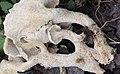 Polyporus umbellatus 66485199.jpg