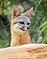 Portrait of a fox (48024706298).jpg