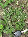 Portulaca pilosa plant2 - Flickr - Macleay Grass Man.jpg