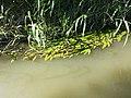 Potamogeton nodosus sl29.jpg