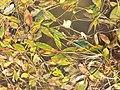 Potamogeton nodosus sl41.jpg