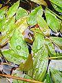 Potamogeton polygonifolius2.jpg