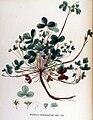 Potentilla fragariastrum — Flora Batava — Volume v17.jpg