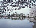 Potomac River Tidal Basin during the annual Cherry Blossom Festival 16063v.jpg