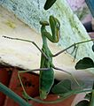 Praying Mantis - Flickr - gailhampshire.jpg