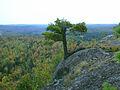 Precarious white pine.JPG