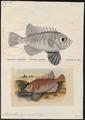 Priacanthus japonicus - - Print - Iconographia Zoologica - Special Collections University of Amsterdam - UBA01 IZ13000005.tif