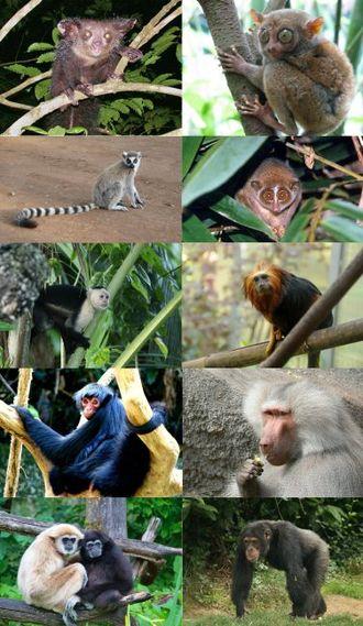 Primate - Image: Primates some families