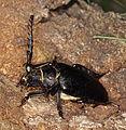 Prionus coriarius (Cerambycidae) (7758852036).jpg