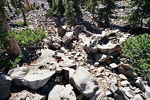 Prometheus (tree) - The stump (lower left) and some remains of the Prometheus tree (center), in the Wheeler Bristlecone Pine Grove at Great Basin National Park near Baker, Nevada