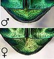 Protaetia affinis Pygidium.jpg