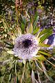 Protea longifolia (5).JPG