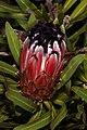 Protea neriifolia 5Dsr 2507.jpg