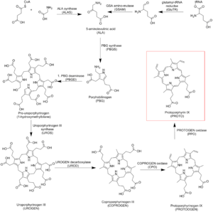 Protoporphyrin IX - Protoporphyrin IX Biosynthetic pathway
