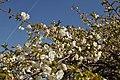 Prunus Sato-Zakura 'Shirotae' in the Jardin des Plantes, Paris 010.JPG