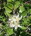 Prunus fremontii-- Desert Apricot Flower (27045891991).jpg