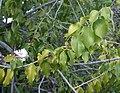 Prunus ilicifolia-1.jpg