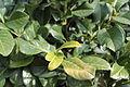 Prunus laurocerasus 10744.JPG