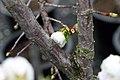 Prunus serrulata Shirotae 5zz.jpg