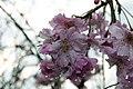 Prunus x subhirtella Pendula Plena Rosea 9zz.jpg