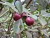 Psidium cattleianum fruit.jpg
