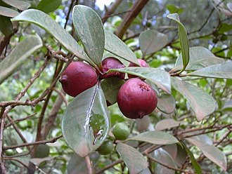 Guava - Strawberry guava, Psidium littorale var. cattleianum
