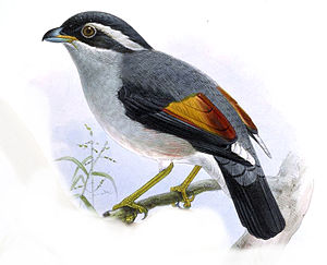 Blyth's shrike-babbler - Illustration of a male P. a. aeralatus